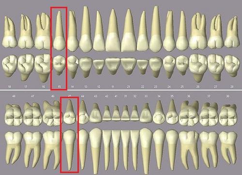 răng số 5 có mấy chân